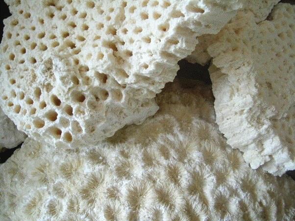 化石サンゴ
